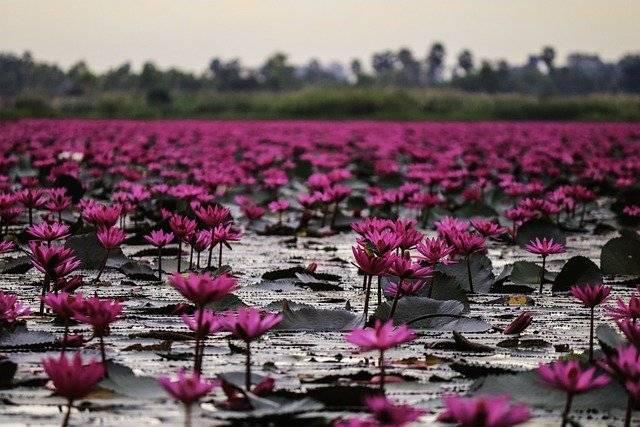 vertus de la fleur de lotus